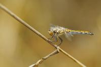 Dragonfly on a plant straw