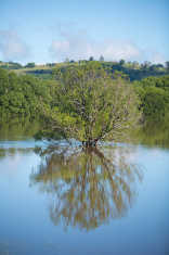 Tree in a Flooded Paddock