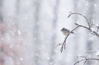 Winter bird in snowfall