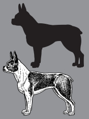Boston Terrier - Dog, domestic pet