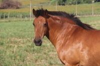 Wild brown horse