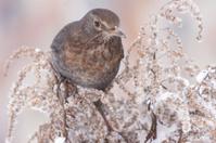 Turdus merula in wintertime