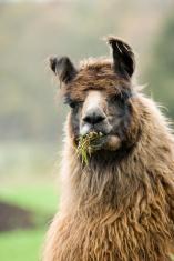 Buck-toothed Llama