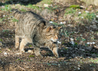 European Wildcat On The Hunt