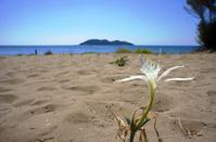 African Agapanthus flower on the beach, island of Zakynthos