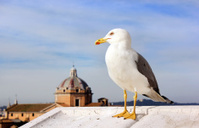 Seagull of Rome