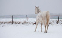 horses playing in the snow