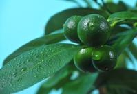Green garden-stuffs of tangerine tree