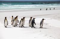 King Penguins on the Beach,  Falkland Islands