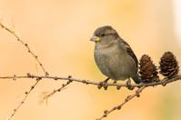 Bird - House sparrow