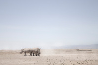 Northern White Rhino's in the heat