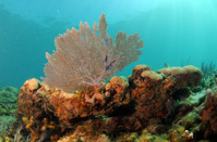Underwater seascape with focus on sea fan