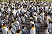 King Penguin Colony, Falkland Islands