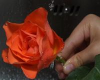 washing rose under tap