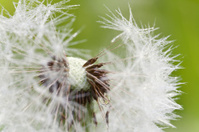 dandelion closeup with small waterdrops on seeds