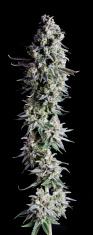 Marijuana Hi-Res