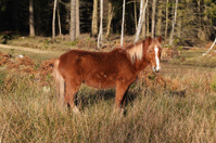 New forest pony in winter