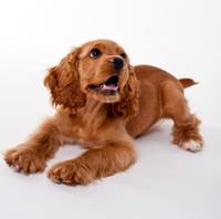 Cute Red Cocker Spanier puppy on white background