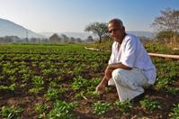 Indian Farmer in groundnut farm