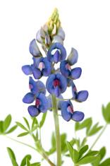 Bluebonnet Flower on White