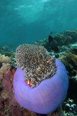 Magnificent anemone