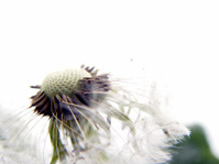 Dandelion exploding.