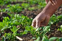 ground nut crop in hand