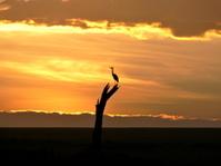 Egret at Sunrise on a tree