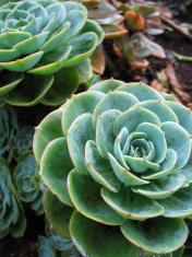 Aeonium - Green Tropical Plant