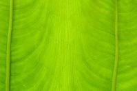 new leaf of taro
