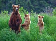Grizly Bear at Alaska