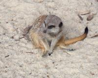 Meerkat ( suricata )