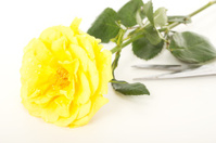 Beautiful yellow rose with water drops
