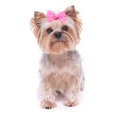 Yorkshire Terrier Sitting On The Shoulder Stock Photos Freeimagescom