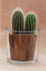 Baby saguaro cactus in a pot