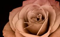 pale pink rose macro
