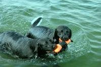 Labrador Retriever Dogs Playing