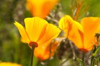 California Yellow Poppy