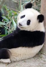 Giant Panda - China