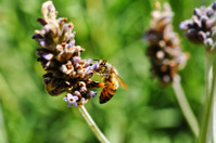 Lavender and Honey Bee