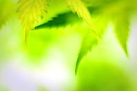Cannabis leafs, defocused shot.