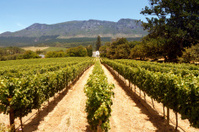 perspective view of vineyards