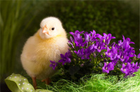 Beautiful little chicken