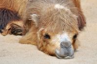 schlafendes Kamel im Wüstensand