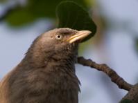 Jungle Babbler (Turdoides Striatus)