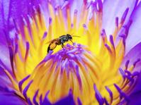 bee on purple lotus flower