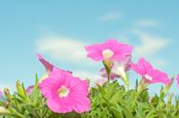 Pink Surfinia petunia