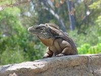 iguana modeling