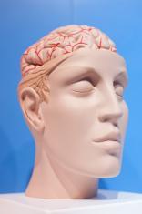 Human organs, the brain model