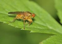 Bee Like Tachinid Fly